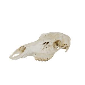 Elk Deer Skull