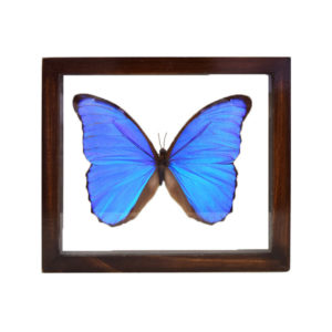 Giant Blue Morpho