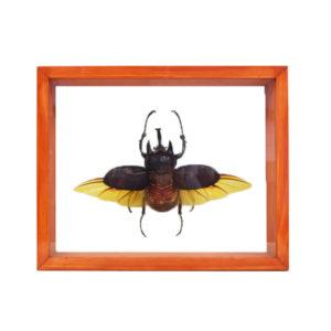 3-Horn-Rhino-Beetle