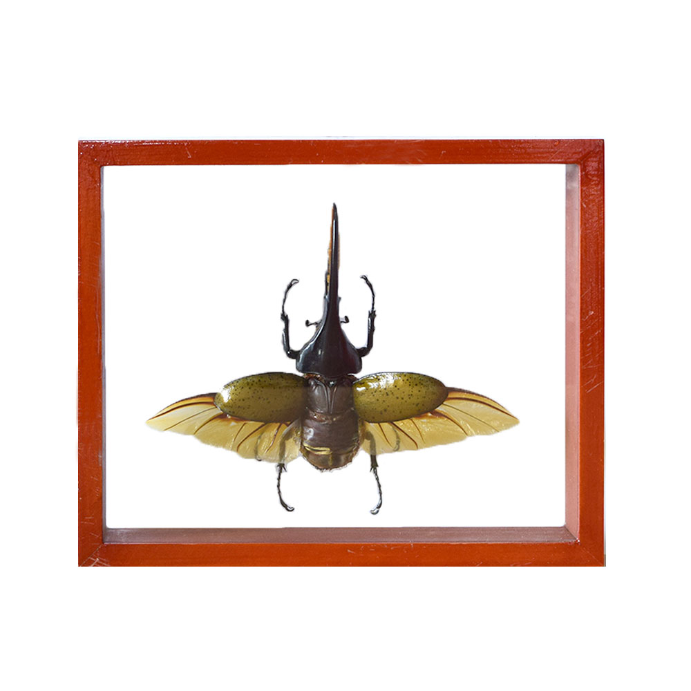 Hercules Beetle - Art By God Mineral and Nature Novelty Gift Shop