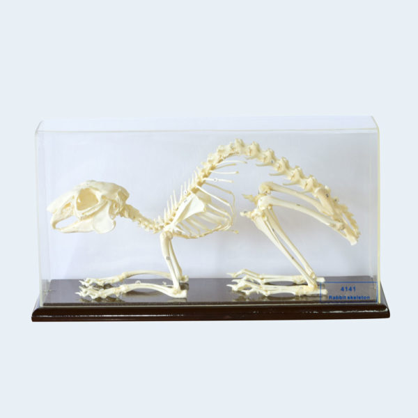 rabbit skeleton