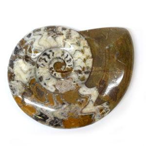 Morocco Ammonites