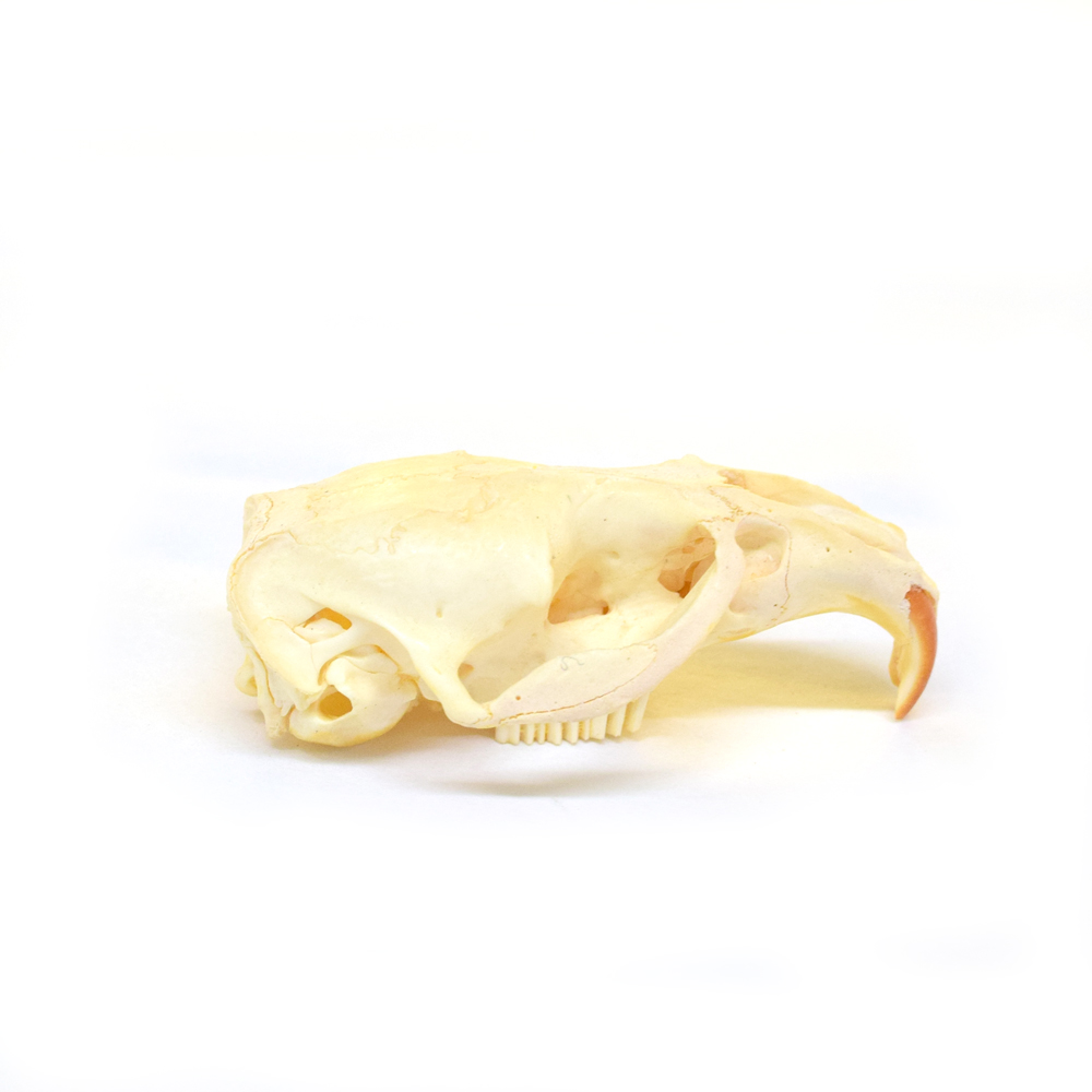 Muskrat Half Skull - Art By God Mineral and Nature Novelty Gift Shop