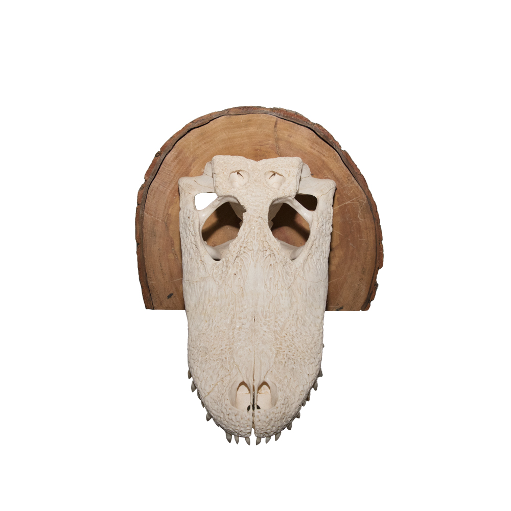 Alligator Skull - Art By God Mineral and Nature Novelty Gift Shop